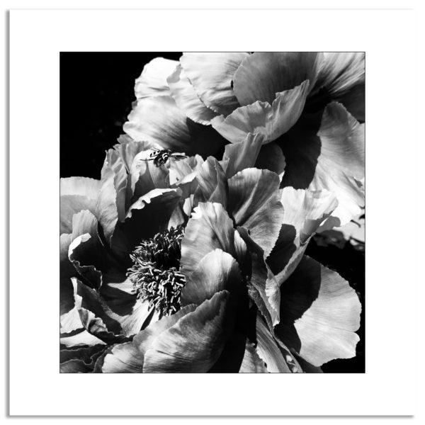 photographie noir et blanc pivoine fleur botanique jardin décoration murale affiche art print